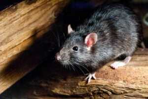 year-of-the-Rat-Malmberg-Actueel-