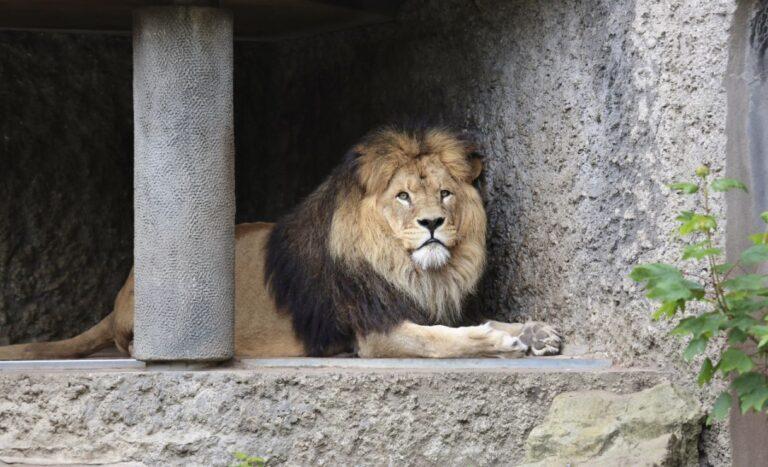 De leeuwen uit Artis moeten weg